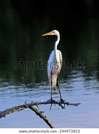 Great Egret perched on a tree limb in a pond near the Chesapeake Bay - stock photo