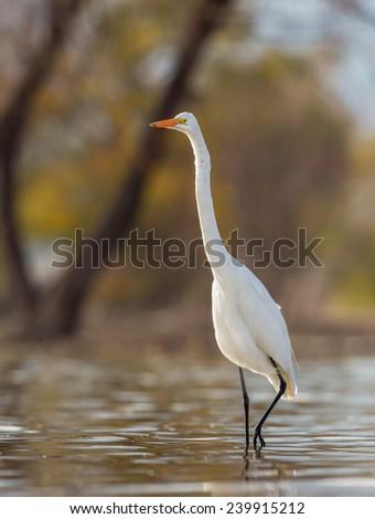 Great Egret stalking its prey. - stock photo