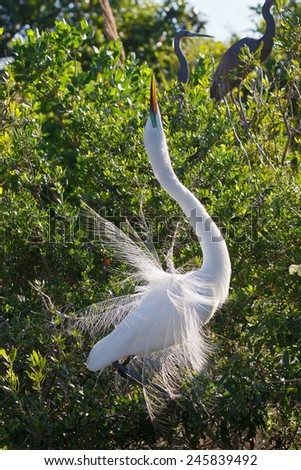 Great Egret sun pointing - stock photo