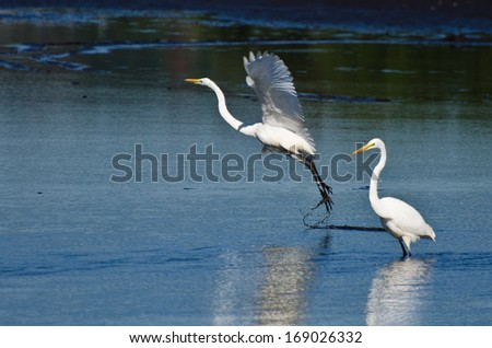 Great Egret Taking to Flight
