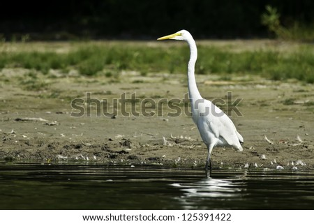 Great Egret walking along the shoreline.