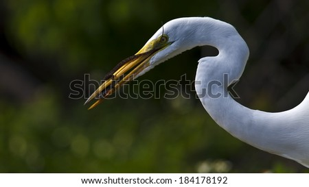 Great egret with lizard in bill - stock photo