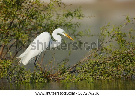 Great Egret with two Dragonfly's in its bill ready to eat. - stock photo