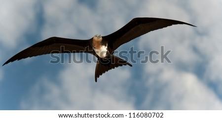 Great frigatebird (Fregata minor) in flight, Genovesa Island, Galapagos Islands, Ecuador - stock photo