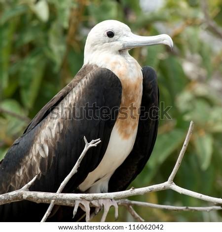 Great frigatebird (Fregata Minor), North Seymour Island, Galapagos Islands, Ecuador - stock photo