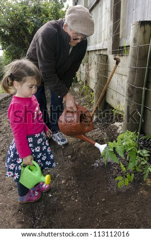 Great grandpa shows his great grandchild how to  use the watering can when dropping water on a fresh tomato plant in the garden.