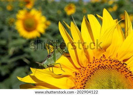 Great green grasshopper (Tettigonia viridissima) on sunflower  - stock photo