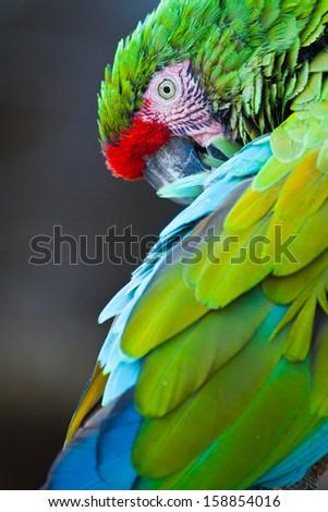 Great Green Macaw (Ara ambiguus)  - stock photo