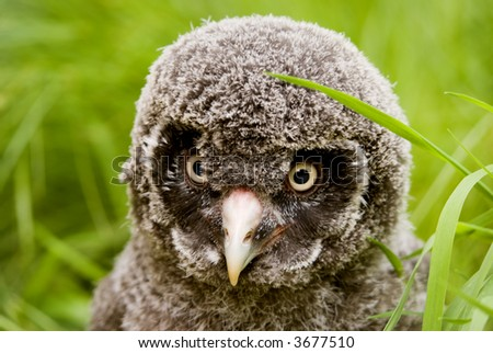 Great Grey Owl chick (Strix nebulosa lapponica) looking at viewer - landscape orientation - stock photo