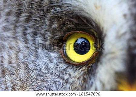 Great Grey Owl close up eye - stock photo