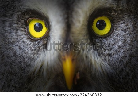 Great Grey Owl detail face - stock photo
