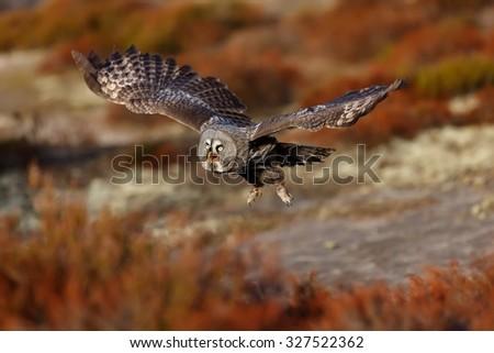 Great Grey Owl flying around us - stock photo