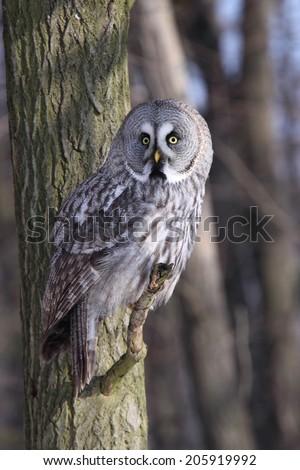 Great Grey Owl or Lapland Owl, lat. Strix nebulosa  - stock photo