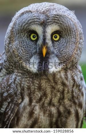 Great Grey Owl portrait - stock photo
