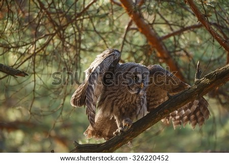 Great Grey Owl sitting on the pine - stock photo