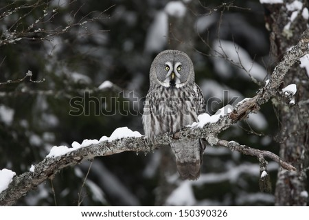 Great-grey owl, Strix nebulosa, single bird on branch, Finland - stock photo