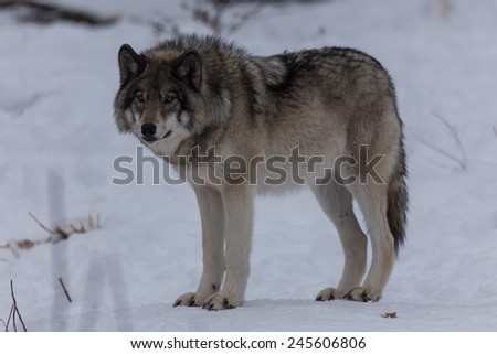 Great Grey Wolf