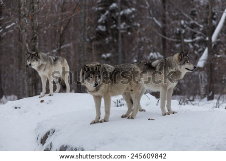 Great Grey Wolf - stock photo