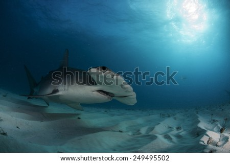 Great Hammerhead Shark in Low Light in the Bahamas - stock photo