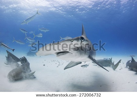 Great Hammerhead Shark turns with fins down  - stock photo