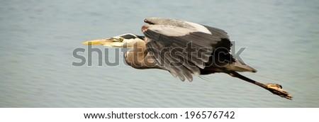 Great Heron flying - stock photo