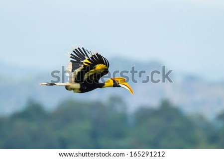 Great Hornbill (Buceros bicornis) flying in nature at Khao Yai National Park,Thailand  - stock photo