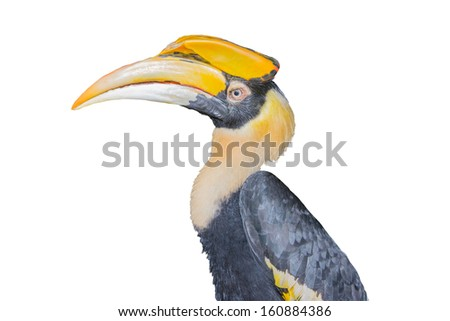 Great hornbill, Close up White background.
