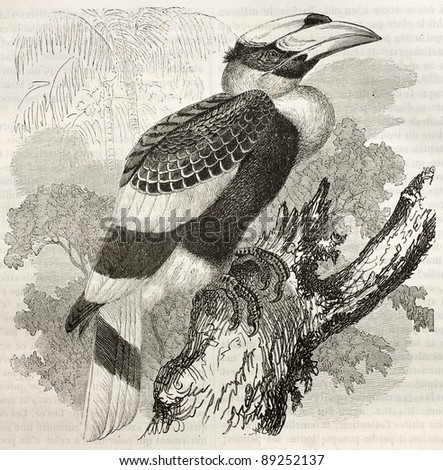 Great Hornbill old illustration (Buceros bicornis). Created by Kretschmer and Illner, published on Merveilles de la Nature, Bailliere et fils, Paris, ca. 1878