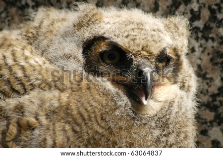 Great Horned Baby Owl that just left the nest in a graveyard in Minnesota. - stock photo