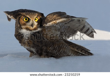 Great horned(Bubo virginianus) owl on snow - stock photo