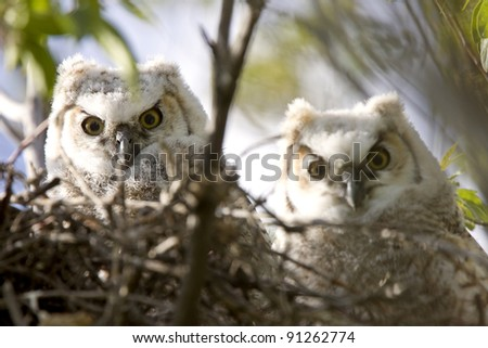 Great Horned Owl Babies Owlets in Nest - stock photo