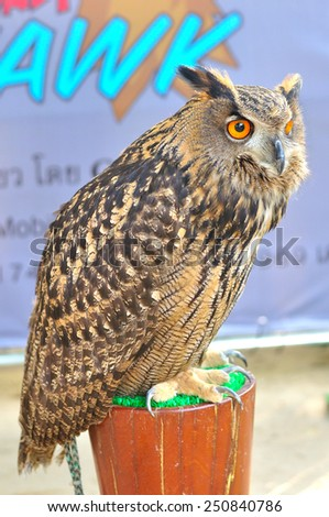 Great horned owl (Bubo virginianus) or Tiger owl, bird of prey - stock photo
