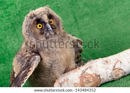 Great Horned Owl, Bubo Virginianus Subarcticus - stock photo