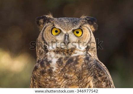 Great Horned Owl close up - stock photo