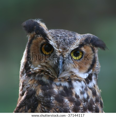 Great Horned Owl close-up - stock photo