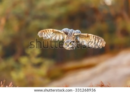 Great horned owl in detail - stock photo