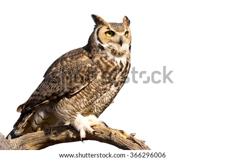 Great Horned Owl isolated on white background. - stock photo