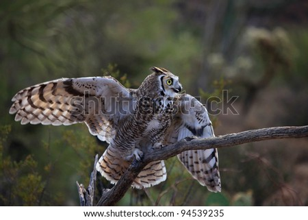 Great Horned Owl on branch spreads wings in Arizona state, United States/Great Horned Owl with Spreads Wings and Tail/Sun lights the spread feathers of Great Horned Owl in the desert Southwest USA. - stock photo