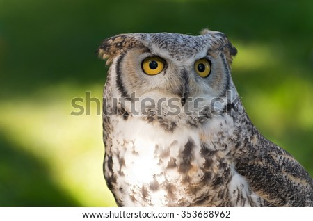 great horned owl or bubo virginianus full facial view isolated against green background - stock photo
