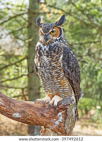 Great horned owl or hoot owl - stock photo