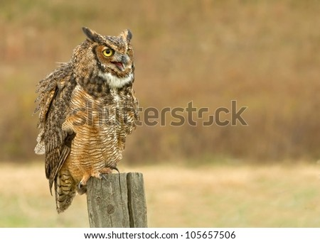 Great Horned Owl perched - stock photo