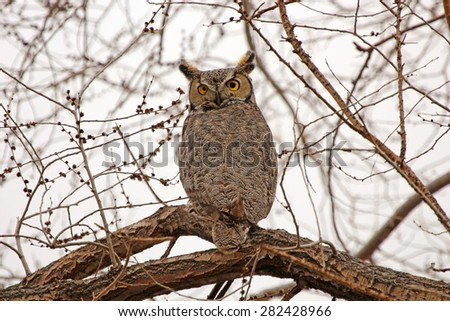 Great Horned Owl sitting on a tree in Nevada - stock photo