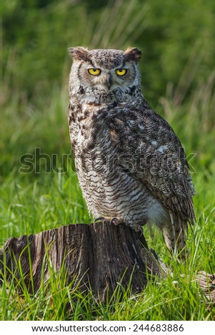 Great Horned Owl standing on a tree trunk. A magnificent great horned owl is seen standing on a tree stump. - stock photo
