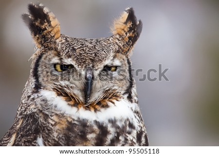 Great horned owl staring at camera - stock photo