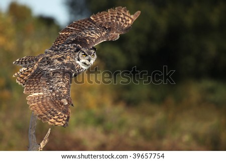 Great Horned Owl taking off from a perch with wings outstretched. - stock photo