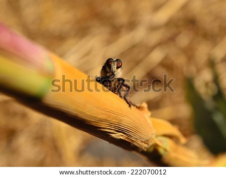 Great hunter efferia albibarbis on cane stalk with bee under its stinger - stock photo