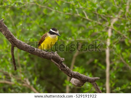 Great Kiskadee (Pitangus sulphuratus) perched on tree branch in thick brush. Bentson-Rio Grande Valley State Park in Mission Texas.
