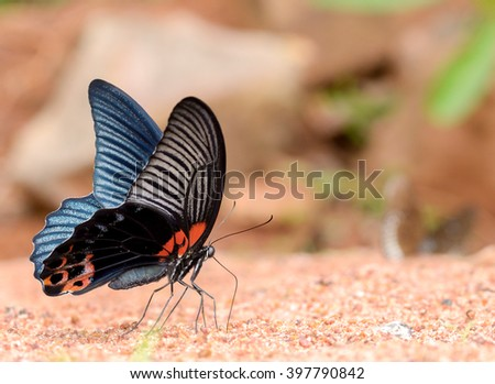 Great Mormon butterfly eating salty in sand