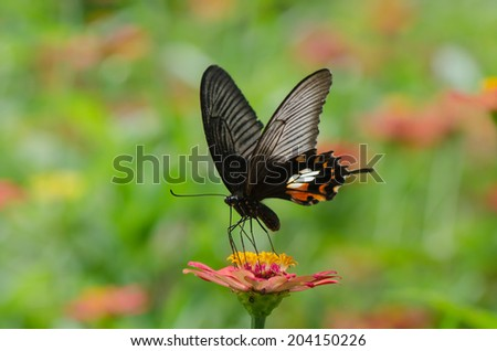 Great mormon butterfly on zinnia flower with colorful background. - stock photo