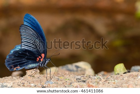 Great Mormon (Papilio memnon) butterfly sucking mineral in nature